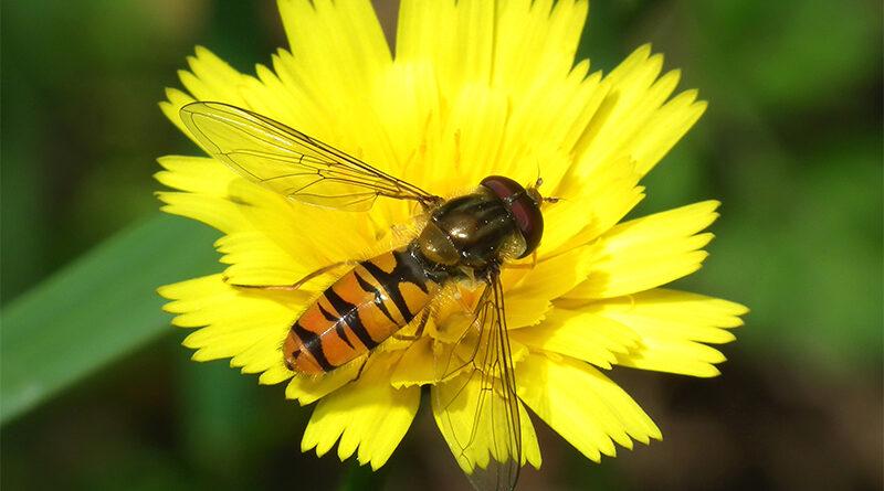 Cientistas encontraram abelha australiana que não era vista há 98 anos